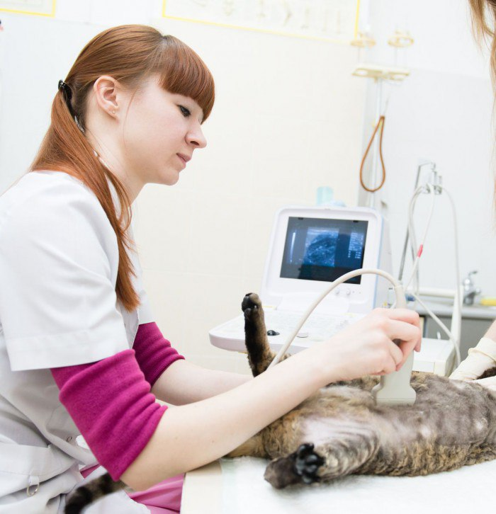 Симптомы и лечение пиометры у кошек: удаление и медикаментозная терапия