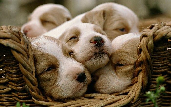 Роды у собак: как это происходит?
