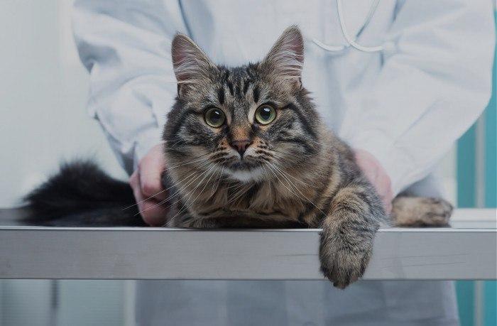 Язвенный стоматит у кошек