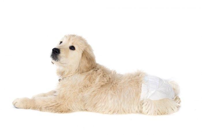 Памперсы для собак: как выбрать, надеть и использовать