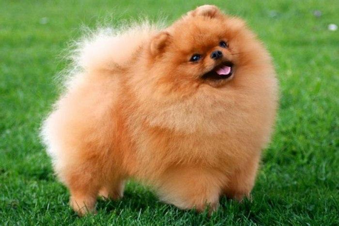 Самые маленькие породы собак: топ-15